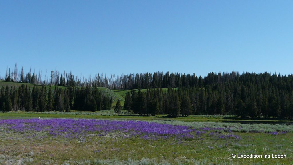 Yellowstone: Blumenwiesen,...
